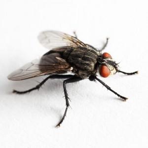 pest - fly