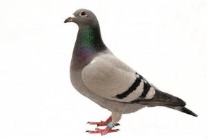 Pest - Pigeon
