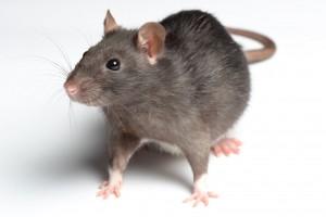Rat - Pest Problem