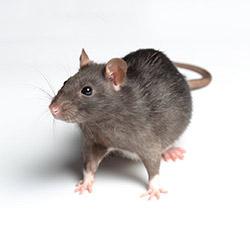 Pest - Rat