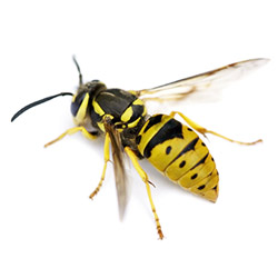 Pest - Wasp