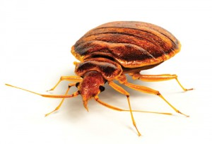 Bed Bug Image V2