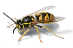 Wasp Prevention
