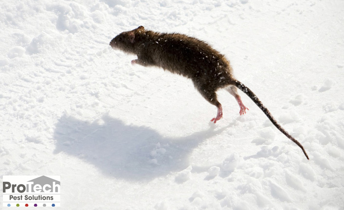 common winter pests