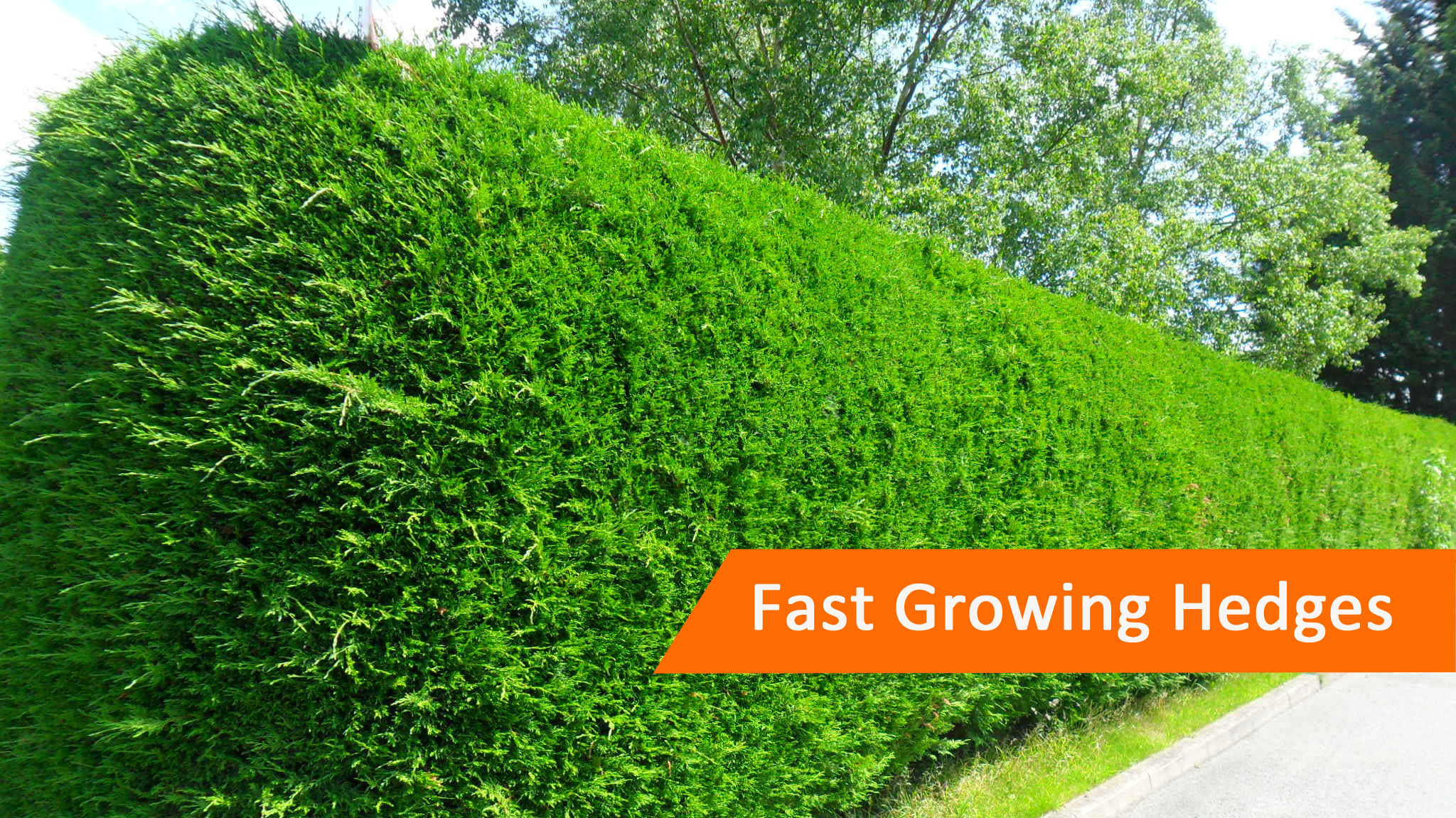 Fast Growing Hedge Plants Protech Property Solutions